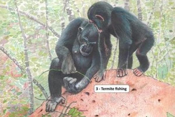 Drawing of chimps using sticks to collect termites from a mound