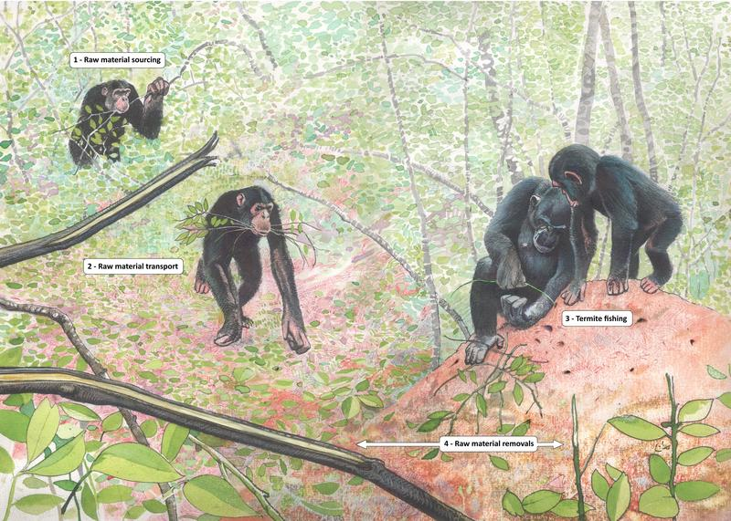 raw material sourcing for termite fishing tools by wild chimpanzees