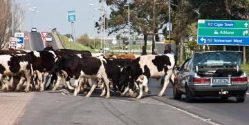 cattle in cape town by noleen kutash