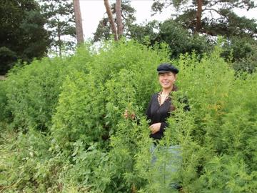 harvesting sweet wormwood in oxfordshire june